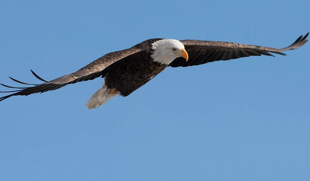 Bald eagle takes down government drone